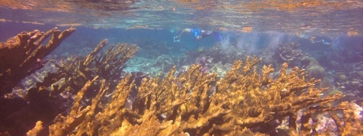 palmata Belize